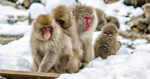 Visit with the Japanese Snow Monkeys on your Japan Tour