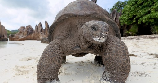 The Aldabra Giant Tortoise found on the Seychelles, is one of the largest in the world
