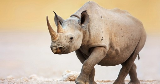 Black Rhinoceros, Etosha National Park
