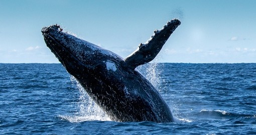 Cruise through the waters surrounding Moreton Island experience whales on their migratory journey during your Australia Vacation.