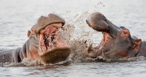 Group of wild hippos at a waterhole