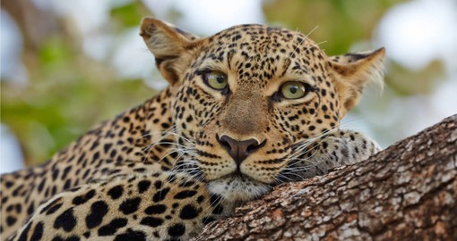 Spotting the elusive Leopard is a thrill on any Kenyan safari