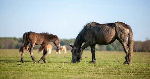Mare with Foal on Lonjsko field