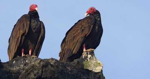 Turkey Vultures in western Panama