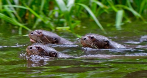 Observe river otters and other amazon wildlife on your Ecuador Vacation
