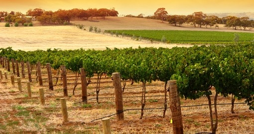 A Scenic Vineyard in South Australia