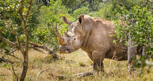 The White or Square-lipped Rhino at home in Kruger National Park