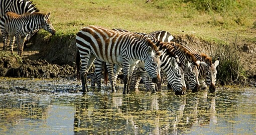 Zebras at the water holes - a great photo opportunity on all Botswana tours.