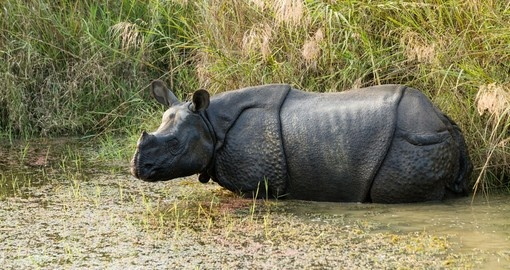 A Rhino in Chitwan National Park - always a highlight on all Nepal tours.