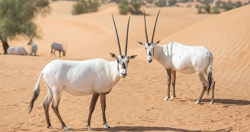 You will visit the Dubai Desert Conservation Reserve during your Dubai vacation.