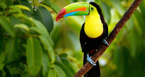 Toucans  are among the most colorful and bizarre looking birds of Costa Rica