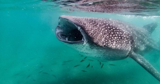 Swim with whale sharks in Belize
