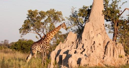 Giraffe walks behind a termite mound in the bushland