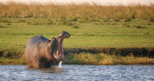 Hippo standing in the river, Botswana