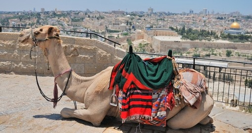 Camel relaxing on the top of Mountain of Olives