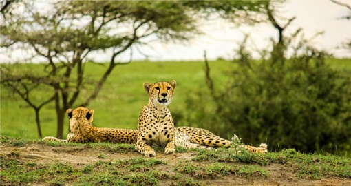 Predators in Tarangire include Lion, Leopard, Cheetah and Honey Badgers