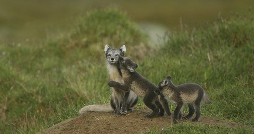 Three arctic foxes