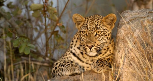 The least social of the African big cats, Leopards usually lurk in dense bush or around rocky koppies