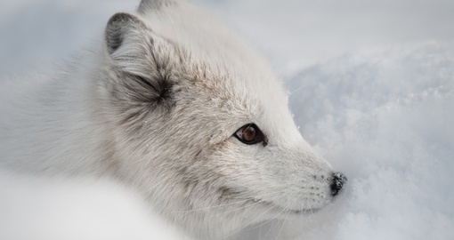 An Arctic Fox sniffing a snow bank for the scent of prey