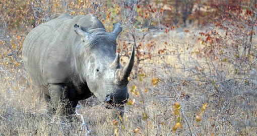 The white or square-lipped rhino is the largest and most social of the species
