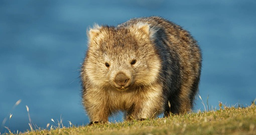 Maria Island is home to wombats and other wildlife