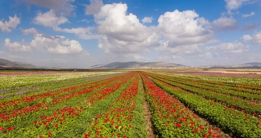 Flower fields on Galilee Heights