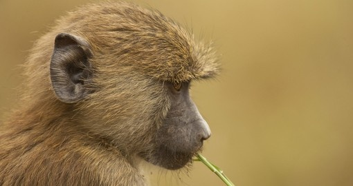 Young olive baboon in the Amboseli National Park