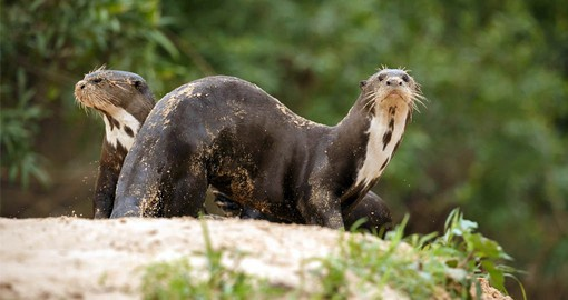 Giant Otters are very sociable animals and often live in groups of up to 20 individuals