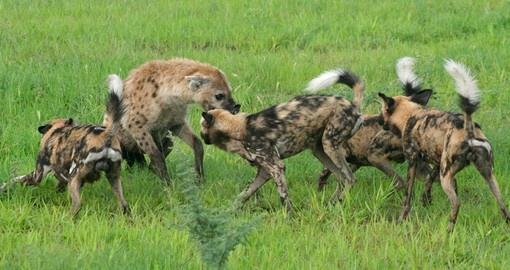 African wild dogs attacking hyena defending prey