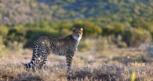 Track wild cheetah on your South Africa safari