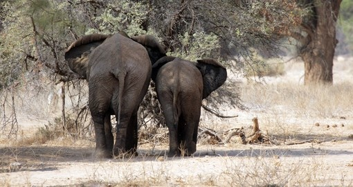 Rare Desert Elephants of Damaraland