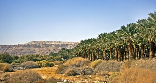 Judaic desert plantation of date palm trees