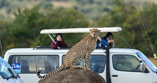 The speedy Cheetah can be seen as part of your holiday in Kenya