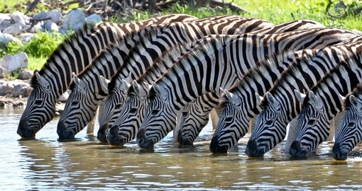 Enjoy the Zebras drinking at a waterhole during your Kenya vacation
