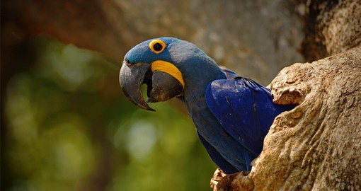 The Hyacinth Macaw is the largest Macaw and the largest flying parrot species