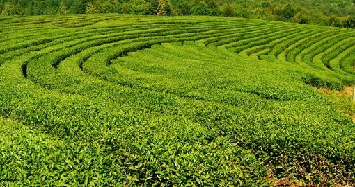 Krasnodar tea plantations in Sochi