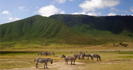A dazzle of zebras in Ngorongoro Crater