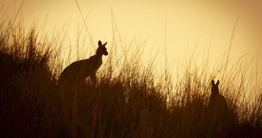 Australian Kangaroo's at sunset