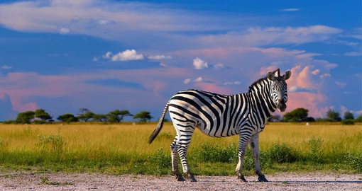The Nxai Pan zebra migration has only been recently discovered