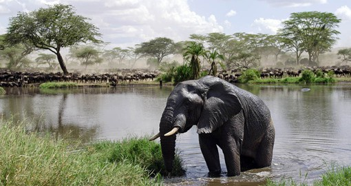 Over 2,000 elephants make their home in the Serengeti