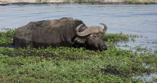 Cape Buffalo eating plants in the river