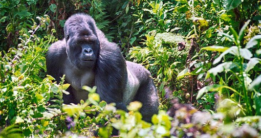 Each troop of gorillas is lead by a silverback, a mature male that determines the groups movements