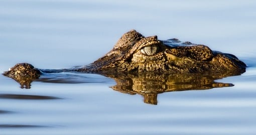 Yacare caiman floating in the pantanal wetlands