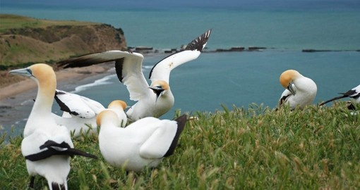 Visit the Gannet Colont at Cape Kidnappers on your New Zealand Vacation