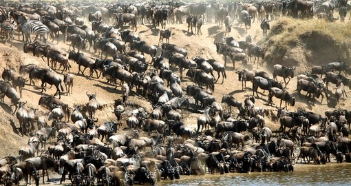 The Wildebeest migration is a very popular time for people looking to do a Kenyan safari.