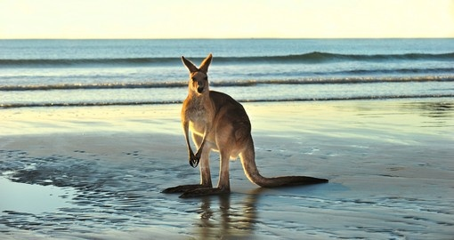 Eastern grey kangaroo on beach, near Mackay