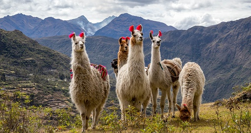 Make friends with Llamas on your trip to Peru
