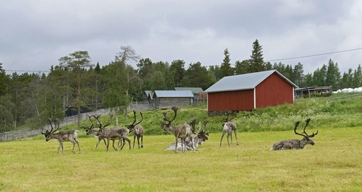 Herd of reindeer