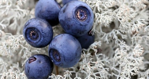 Bilberries are grown throughout Eurasia
