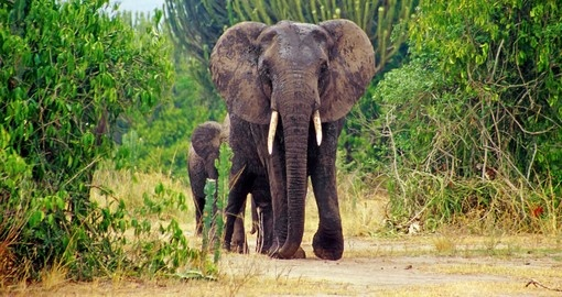 Continue your Uganda tour to Queen Elizabeth National Park is known for its wildlife, including Elephant